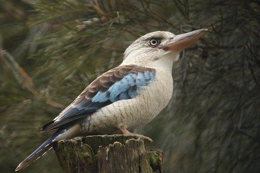 Kookaburra, Bird, Australia, Nature, Wild, Native