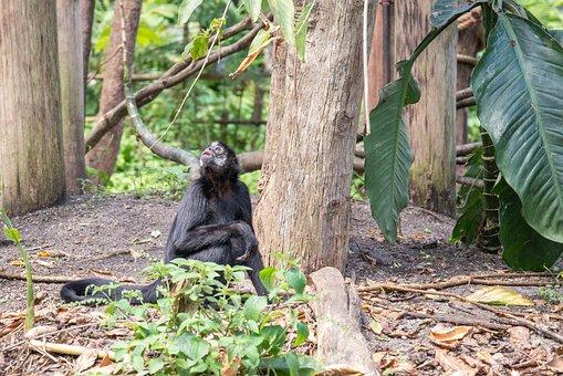Bonobo, Mammal, Animal, Monkey, Wildlife, Ape, Nature