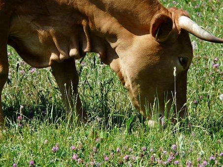 Cow, Graze, Animal, Creature, Cattle, Horns