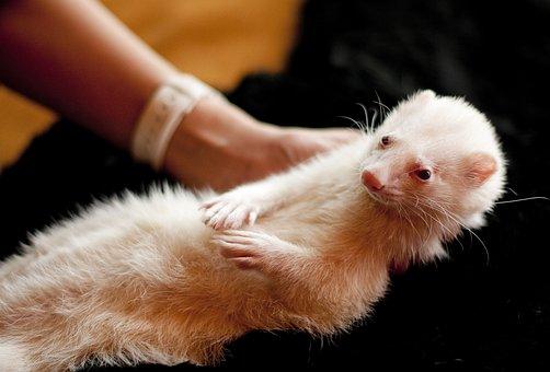 Ferret, Animal, Pet, Rodent, Domestic, Portrait, Puppy