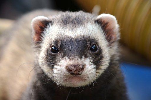 Ferret, Animal, Eyes, Close Up