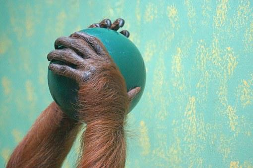 Hands, Ball, Food, Orang-utan, Old World Monkey, Ape
