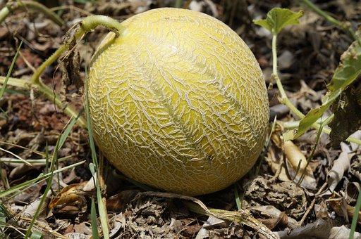 Melon, Fruit, Meloon