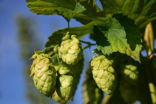 Hops, Close Up, Nature, Plant, Bavaria, Beer, Harvest