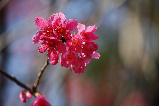 Wild Cherry Petals, Hua Xie, Pink Flowers