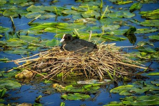 Eurasian Coot, Nest, Bird, Pond, Water, Nesting, Nature