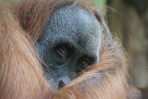 Orang Utan, Primate, Ape, Old World Monkey
