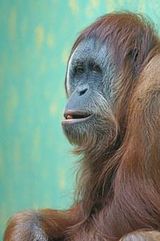 Orang-utan, Old World Monkey, Ape, Primate