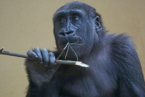 Gorilla, Ape, Primate, Monkey, Watch, View, Close Up
