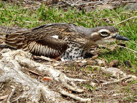 Stone Curlew, Burhinus Oedicnemus, Nesting, Bird