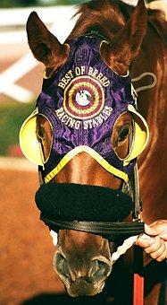 Thoroughbred, Race Horse, Polo, Horses, Animal
