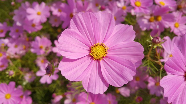 Zou Chrysanthemum, Landscape, Red, Universe Plant