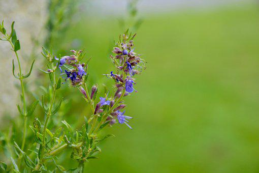 Hyssop, Blossom, Bloom, Plant, Flower, Blue