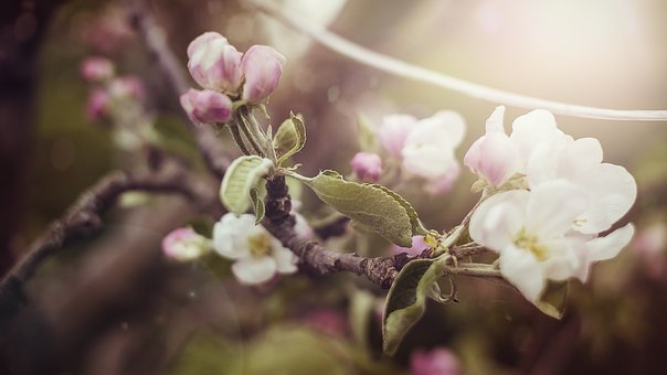 Blossom, Bloom, Apple Tree, Apple Blossom, Spring