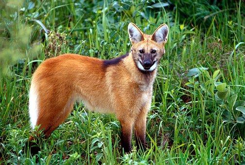 Chrysocyon Brachyurus, Maned Wolf, Mammal, Carnivores