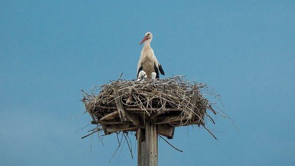 Stork, Nest, Bird, Chick, Animal, Nature