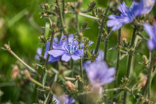 Common Chicory, Cichorium Intybus, Chicory, Wild Flower