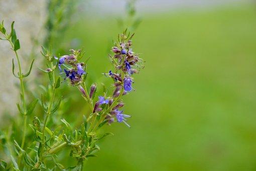 Hyssop, Blossom, Bloom, Plant, Flower