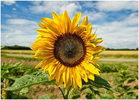 Sunflower, Pollination, Flower, Yellow