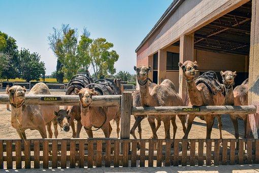 Camels, Curious, Funny, Animal, Farm, Camel Park