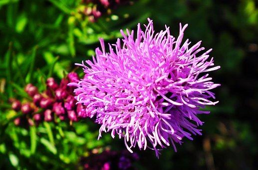 Latria Kłosowa, Flower, Summer, Garden, Nature, Closeup