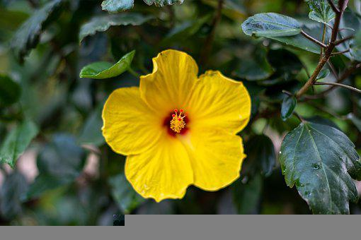 Yellow Hibiscus, Hibiscus, Yellow