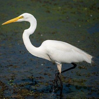 Great Egret, Egret, Common Egret, Large Egret