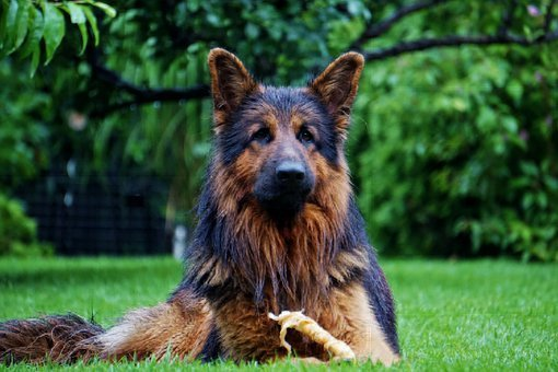 Old German, Schäfer Dog, Friend, Good, Pet, Meadow