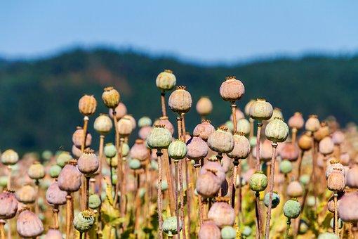 Poppy Capsules, Nature, Poppy Seeds, Mohngewaechs