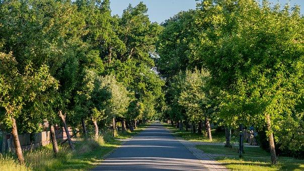 Tree Avenue, Evening Light, Trees, Street, Road, Nature