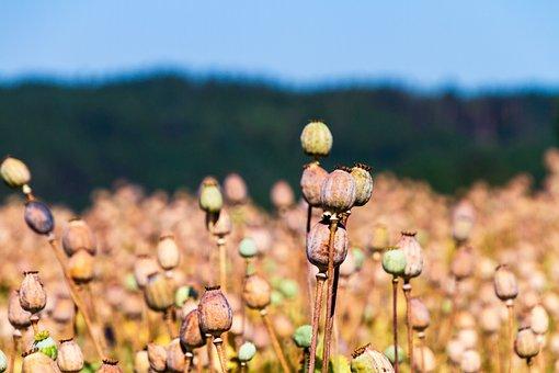 Poppy Capsules, Nature, Poppy Seeds