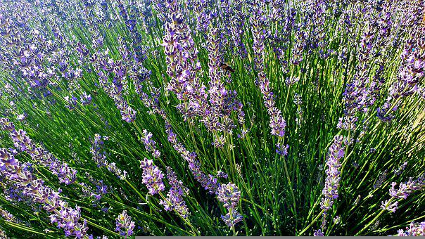 Lavender, East Spring, Endemic