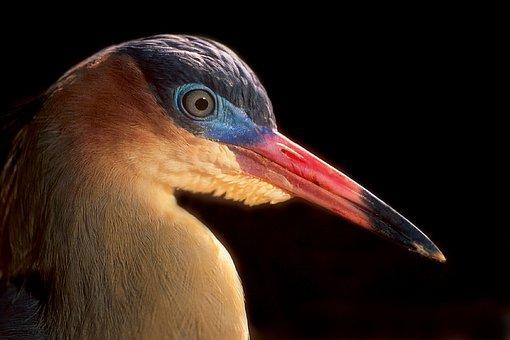 Syrigma Sibilatrix, Whistling Heron, Bird