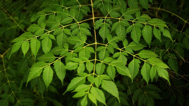 Green Leaf, Plant, Natural, Maunsell