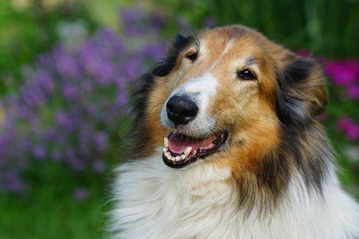 Sheep-dog, Dog, Scottish, Portrait, Collie