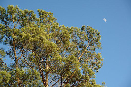 Pine, Sky, Moon, Landscape, Nature, Forest, Trees, Blue