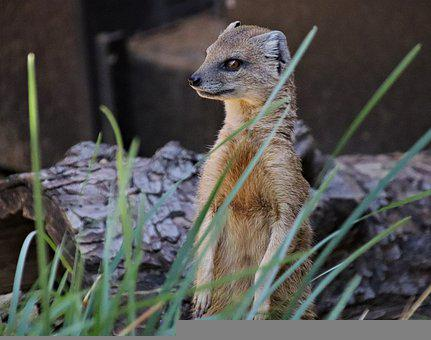 Mongoose, Fox, Beast, Animal, Mammal