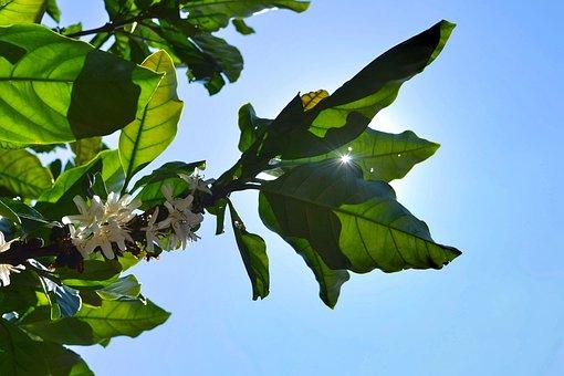Coffee, Sun, Sky, Coffee Flower, Flower, Coffee Tree