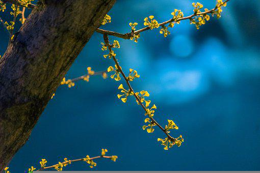 Night, Spring, Ginkgo, Leaves, New Leaf, March, Taicang