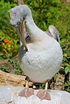 Pelican, Bird, Water, Animal, Feather, Beak, Cleaning