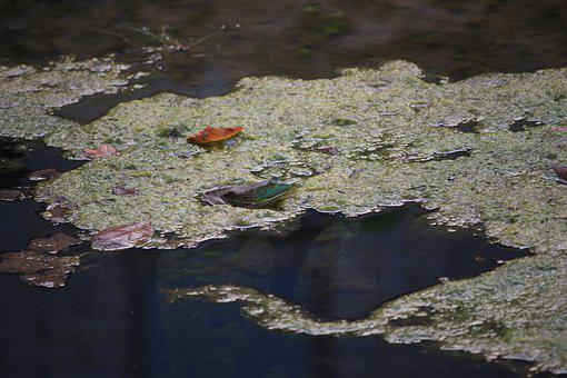 Frog, Water, Amphibian, Alabama, Pond