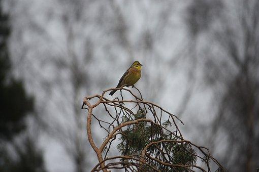 Bunting Yellow, Branches, Nature, Bird, Wild, Animal