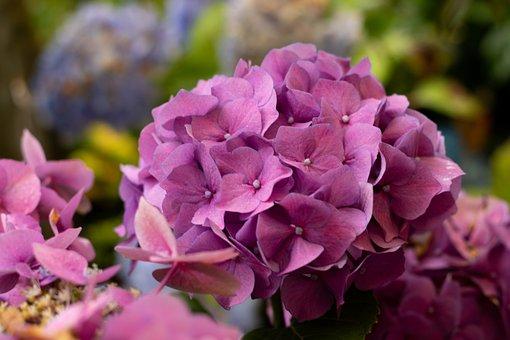 Hydrangea, Flower, Garden, Pink, Bloom