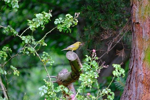 Greenfinch, Bird, Chloris Chloris, Carduelis Chloris