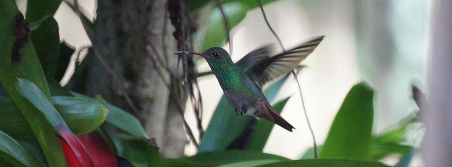 Ave, Bird, Hummingbird, Flight, Sucker, Colombia