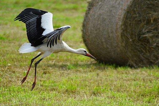 Nature, Stork, Landing