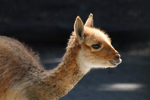 Vicuna, Kamelart, Paarhufer, South America, Mammal