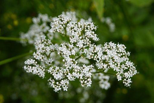 Valeriana, Valerian, Botany, Flora, Wildflower, Nature
