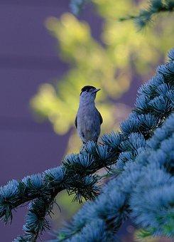 Blackcap, Bird, Sylvia Atricapilla, Songbird, Warbler