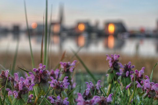 Flowers, Purple, Sunrise, Rostock, Water, Nature